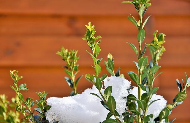 sníh na rostlině